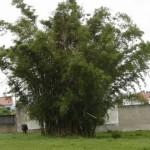 8 - Colmo Bambu-açu